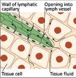 initial lymph capillary